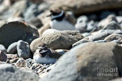 Photograph - Sleeping Plover by Cheryl Baxter