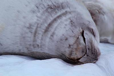 Sleeping Seal Art Print