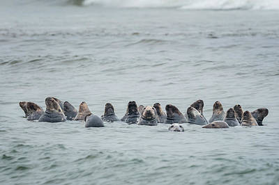 Photograph - Sleeping Seals by Bill Wakeley