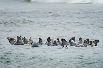 Ocean Mammals Photograph - Sleeping Seals by Bill Wakeley