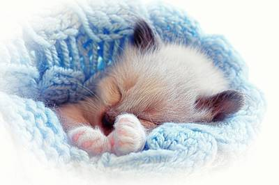 Print featuring the photograph Sleeping Siamese Kitten by Tracie Kaska