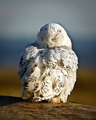 Sleeping Snowy Owl Art Print