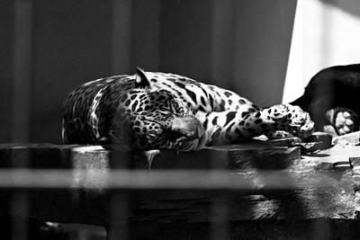 Jaguar Animal Photograph - Sleeping Spots by Pati Photography