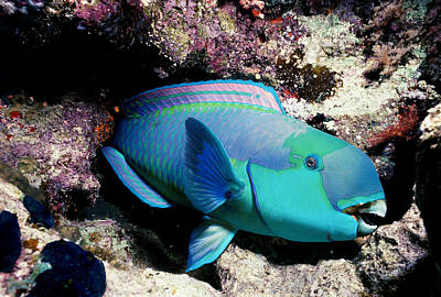 Parrot Fish Photograph - Sleeping Steepheaded Parrotfish by Jeff Rotman