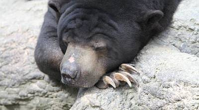 Photograph - Sleeping Sun Bear by Dan Sproul