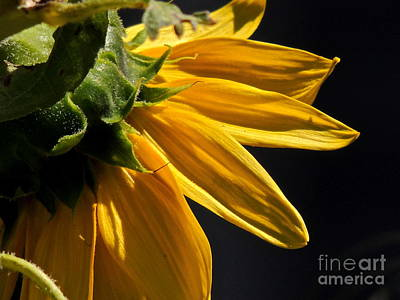 Photograph - Sleeping Sunflower by Eve Spring