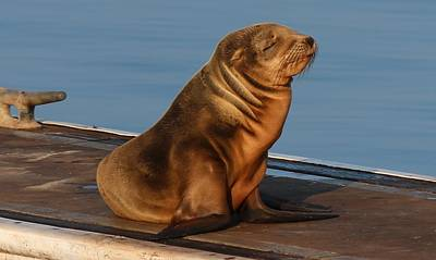 Art Print featuring the photograph Sleeping Wild Sea Lion Pup  by Christy Pooschke
