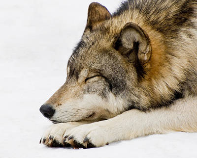 Photograph - Sleeping Wolf by Gary Slawsky