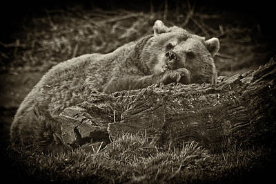 Photograph - Sleepy Bear by Chris Boulton