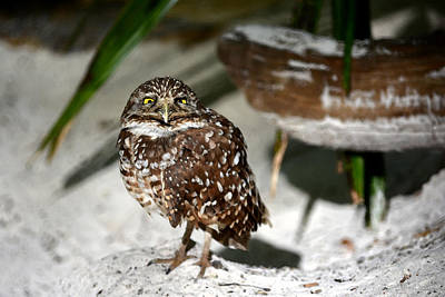 Photograph - Sleepy Burrowing Owl by Judy Wanamaker