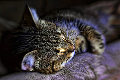 Photograph - Sleepy Cat by Dan McManus