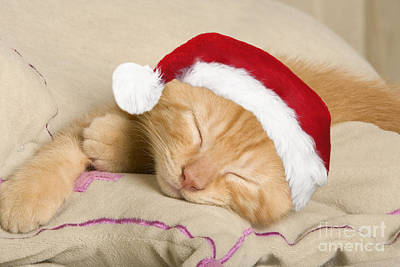 Ginger Cat Photograph - Sleepy Christmas Kitten by Jean-Michel Labat