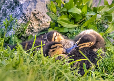 Baby Mallards Digital Art - Sleepy Ducklings by Rob Sellers