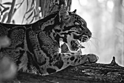 Cat Photograph - Sleepy Girl Bw Version by Steve Harrington