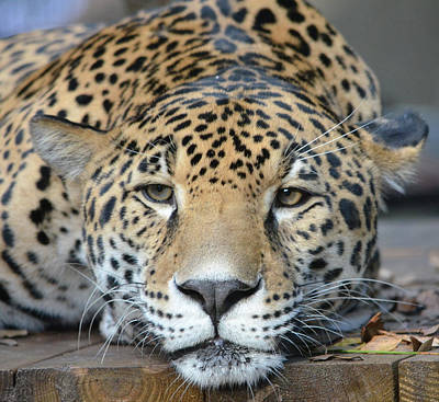 Photograph - Sleepy Jaguar by Richard Bryce and Family