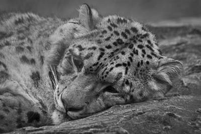 Photograph - Sleepy Leopard by Chris Boulton