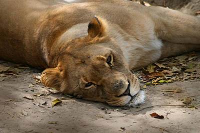 Photograph - Sleepy Lioness by Ann Lauwers