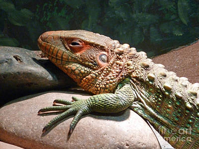 Photograph - Sleepy Lizard by Methune Hively