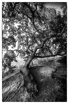 Overcast Photograph - Sleepy Oak by Marvin Spates