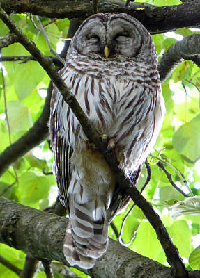 Photograph - Sleepy Owl by Laurie Tsemak