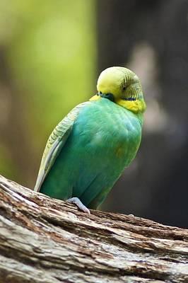 Photograph - Sleepy Parakeet by Ricardo J Ruiz de Porras