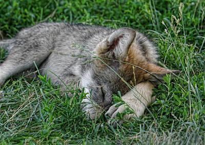 Photograph - Sleepy Pup by Shari Jardina