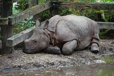 Baby Animal Photograph - Sleepy Rhino by Aimee L Maher Photography and Art Visit ALMGallerydotcom