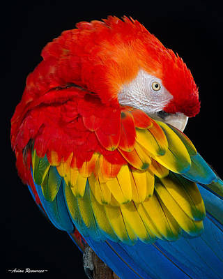 Photograph - Sleepy Scarlet Macaw by Avian Resources