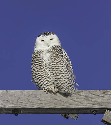 Telephone Poles Photograph - Sleepy Snowy Owl by Thomas Young