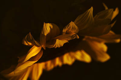 Bowing Photograph - Sleepy Sunflower by The Forests Edge Photography - Diane Sandoval
