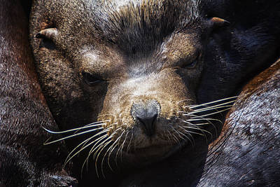 Sleepyhead Sea Lion Art Print