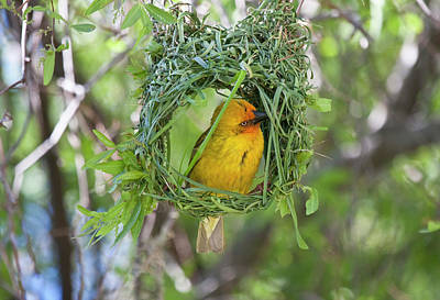 Hiding Photograph - Slender-billed Weaver (ploceus Pelzelni by Jaynes Gallery