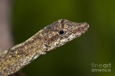 Brown Anole Photograph - Slender Brown-eared Anole by William H. Mullins