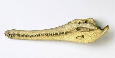Crocodile Wall Art - Photograph - Slender-snouted Crocodile Skull by Natural History Museum, London/science Photo Library