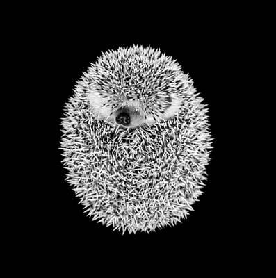 Sleeping Hedgehog Art Print by Tim Booth