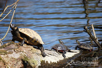 Photograph - Slider And Red Bellied Turtles 20120317_75a by Tina Hopkins
