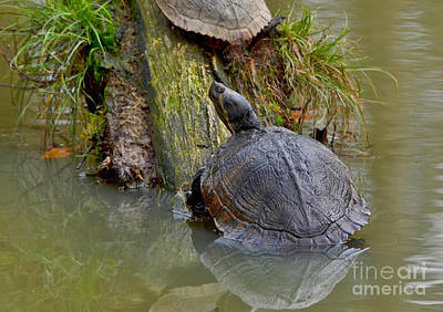 Photograph - Slider Turtle by Kathy Baccari