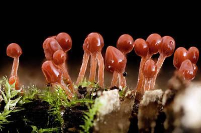 Slime Mould (hemitrichia Sp.) Art Print