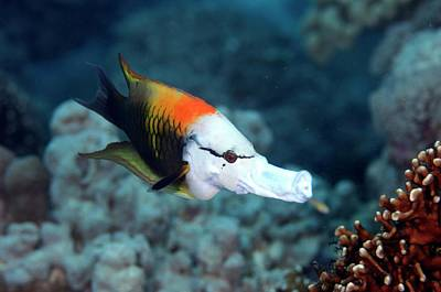 Fish Underwater Photograph - Sling-jaw Wrasse by Scubazoo