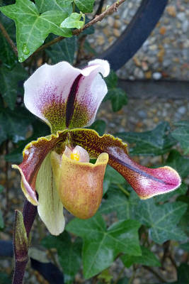 Art Print featuring the photograph Slipper Orchid by Cindy McDaniel