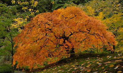 Photograph - Slopeside Maple by Don Schwartz
