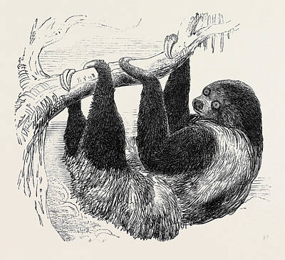 Sloth At The Zoological Gardens Art Print by English School