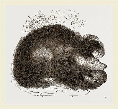 Sloth Drawing - Sloth-bear by Litz Collection