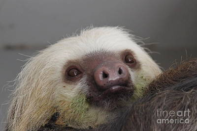 Photograph - Sloth by Erica Hanel