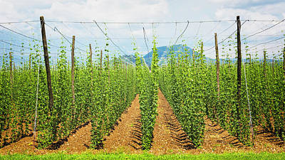 Slovenia.  Hop Fields. Humulus Lupulus Art Print by Ken Welsh