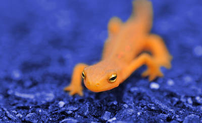Newts Photograph - Sly Salamander by Luke Moore