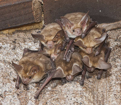 Photograph - Small Bat Colony by Gregory Scott