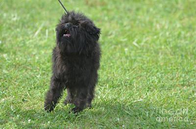 Affenpinscher Photograph - Small Black Affenpinscher Dog by DejaVu Designs