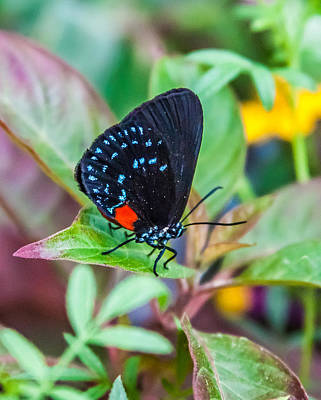 Photograph - Small Black With Blue Spots by Karen Stephenson