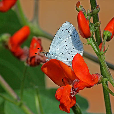 Photograph - Small Blue Butterfly by Tony Murtagh
